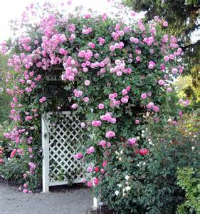 rose growing care how to articles prune roses that