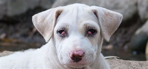 cherry eye in puppies cherry eye in dogs treatment and care costs