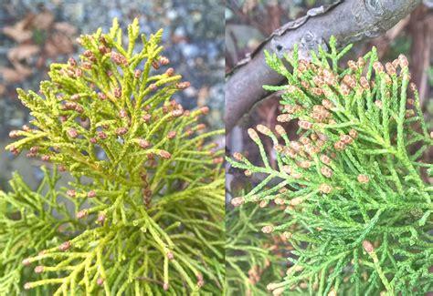 what color is juniper juniper foliage color