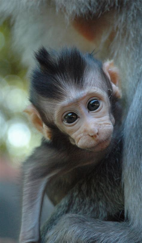 amazoncom baby monkey wallpaper hd wallpapers  baby