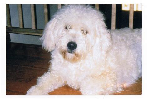 golden retriever bichon mix the gallery for gt golden retriever bichon mix