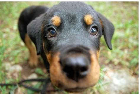 how much does a german rottweiler cost german rottweiler puppy jpg