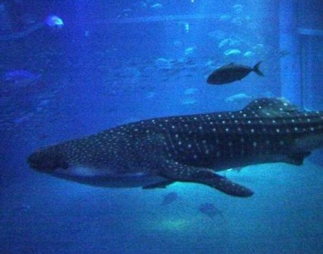 baby shark one utama picture 4 of 7 whale shark rhincodon typus pictures