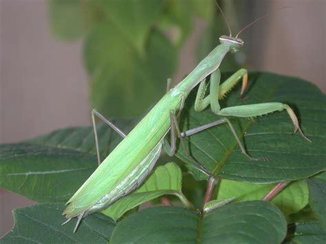 Praying Mantis L by Praying Mantids Defender Of Home Landscapes Gardening