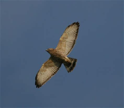 audubon south carolina hawk migration