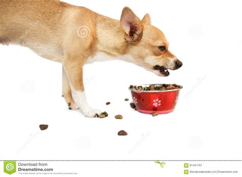 dog eating from bowl cute dog eating from bowl stock photo image 61441797