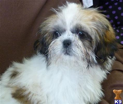 shih tzu and allergies shih tzu allergies for humans breeds picture