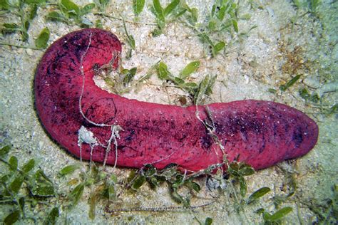 are cucumbers bad for dogs new study on quot burnt quot sea cucumbers raises flags for threatened global