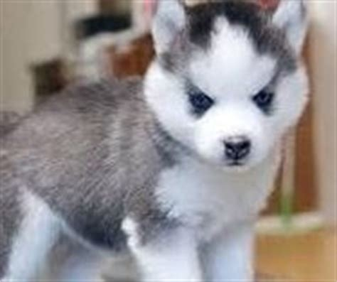pomeranian husky for sale uk 1000 images about places to visit on pomsky puppies for sale pomeranian