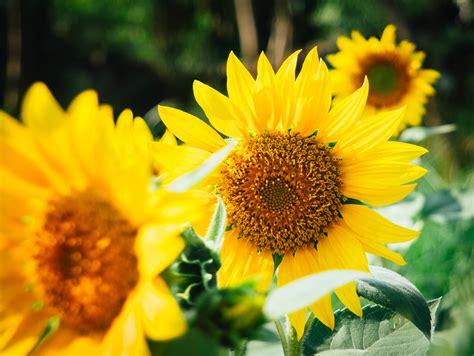 gambar alam menanam bidang daun bunga botani kuning