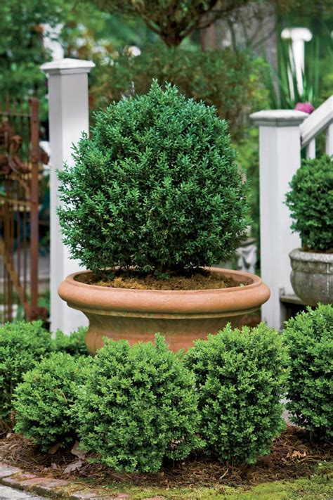Boxwood Planters by Best 25 Boxwood Planters Ideas On