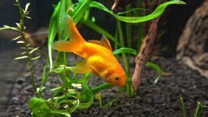 vasca pesce rosso 10 pesci facili per l acquario d acqua dolce