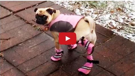 Watch These Dogs Try On Booties For The First TimePure