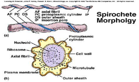 cadena epidemiologica treponema pallidum microbioologia y paracitologia espiroquetas