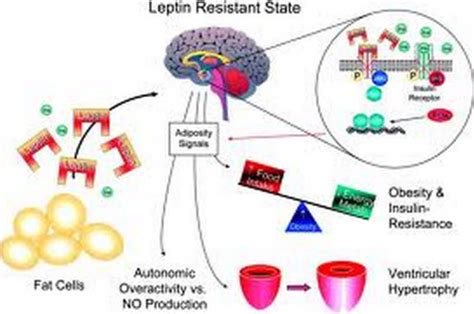 how does the leptin rx work living an optimized life understanding leptin resistance just say no to cancer