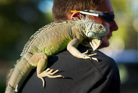 about pet pet green baby iguana