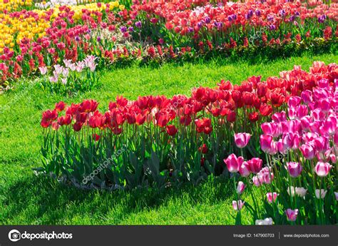beaming flowers picture beautiful flower in bloom light tulips blooming flowers field green grass lawn in