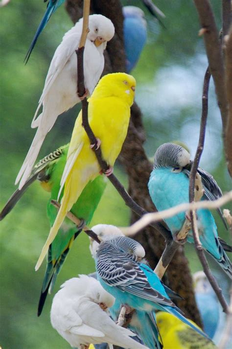 budgie colors parakeet colors inspirational animals photos