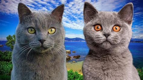 Chartreux cat VS British Shorthair Cat   FunnyCat.TV