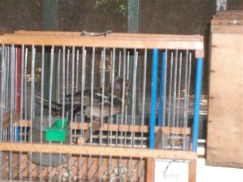 cinciarella gabbia napoli le guardie oipa sequestrano nove cardellini ed un