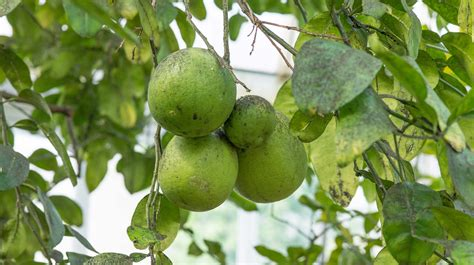 citrus smelling tree plant collections phipps conservatory and botanical