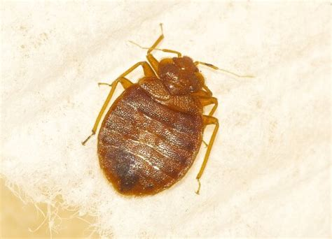 does diatomaceous earth kill bed bugs does diatomaceous earth kill bed bugs treatment advice