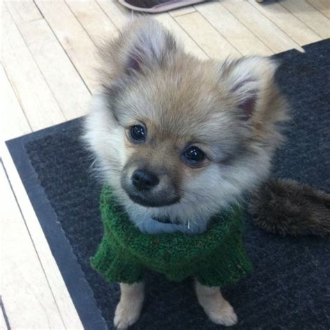 pomeranian and chihuahua mix 25 best ideas about pomeranian chihuahua on baby dogs puppies