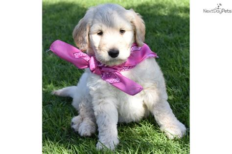 goldendoodle puppy orange county willow goldendoodle puppy for sale near orange county