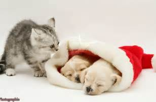 Cute puppies and kittens together wallpaper cute christmas kittens and