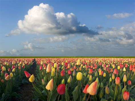 tulip field tulip fields of holland traveling the world one day