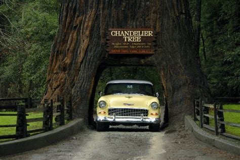 chandelier tree in the drive thru tree park trifive 1955 chevy 1956 chevy 1957 chevy forum talk