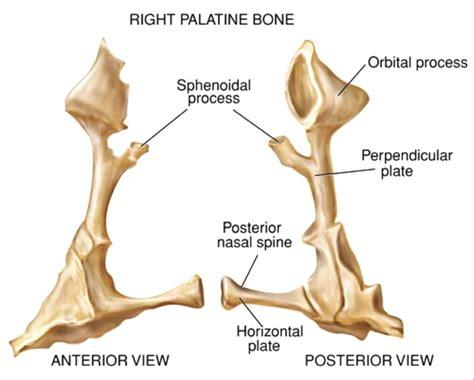 Palatine Bone Sciences Palatine Bone Anatomy