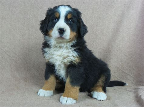 bernese mountain puppies for sale iowa 22 ia 258767 bernese mountain puppies for sale iowa 22 ia 258689