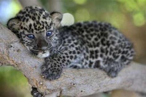 imagenes de jaguar bebe ranking de animalitos beb 233 s listas en 20minutos es