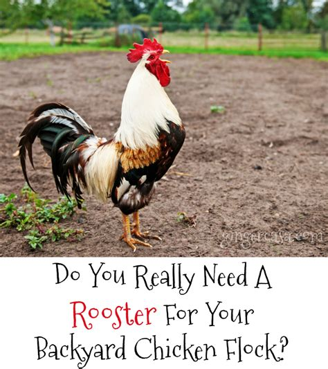 top 28 do you to a rooster to get eggs do you to a rooster to get eggs 28 images the do