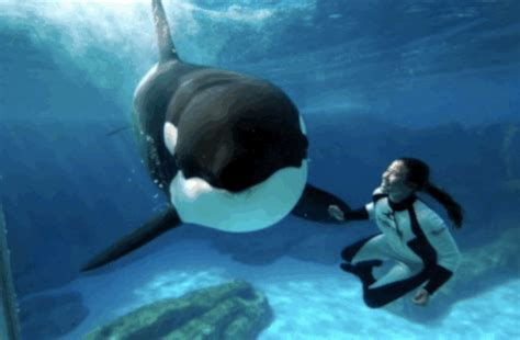 wale gif orca gif find share on giphy