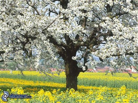 l albero fiorito albero fiorito