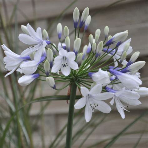 fiore agapanthus agapanthus perenni coltivare l agapanthus