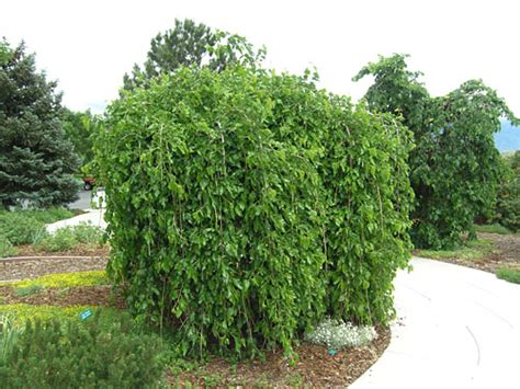 landscape architect job information pictures of small weeping trees for landscaping