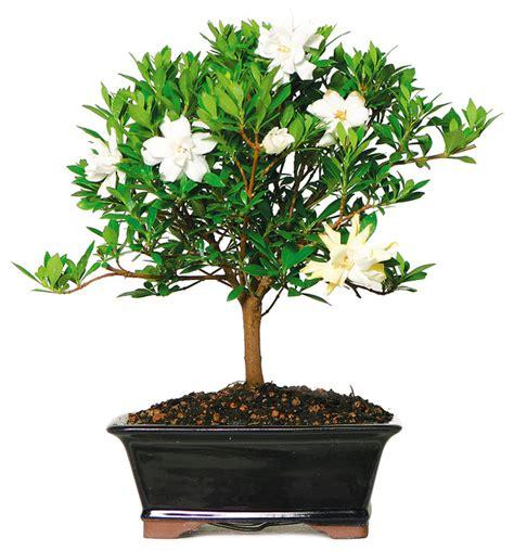 Gardenia Pine Tree Gardenia Bonsai Tree Medium Asian Plants By Brussel