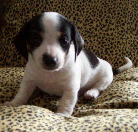 spotted dachshund puppies black piebald dachshund puppy smooth coat flickr photo