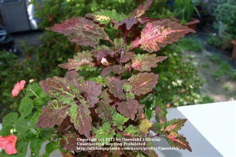 how to grow coleus from cuttings garden org