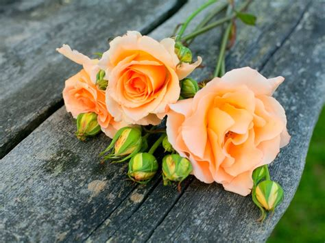 imagenes raras de rosas ஜ ஜ azulestrellla ஜ ஜ flores ex 243 ticas de todo el mundo