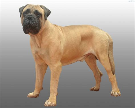 pictures of bullmastiff puppies bullmastiff photo and wallpaper beautiful bullmastiff pictures