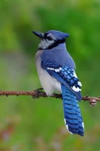 25 best blue jay ideas on pinterest blue jay bird blue
