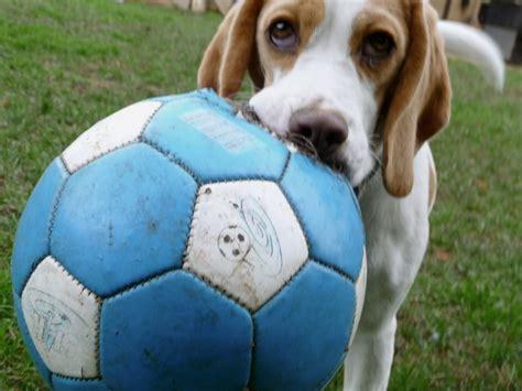 soccer for dogs soccer