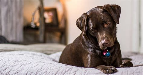 how often can i give my benadryl benadryl for dogs the labrador site