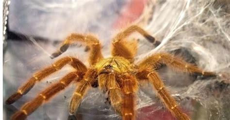 Teplek Tsw Garis Hitam its about quality jenis tarantula untuk pemula