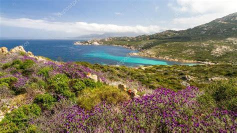 fiori della macchia mediterranea fiori viola nella macchia mediterranea presso la revellata