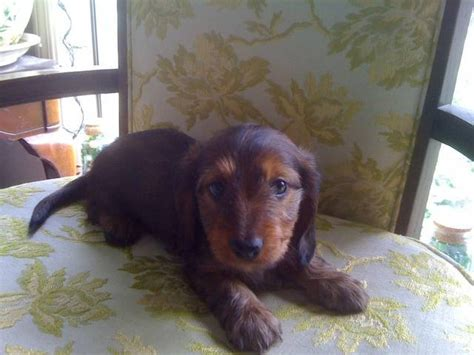 mini dachshund puppies for sale in oregon mini dachshund puppies for sale adoption from turner oregon marion adpost
